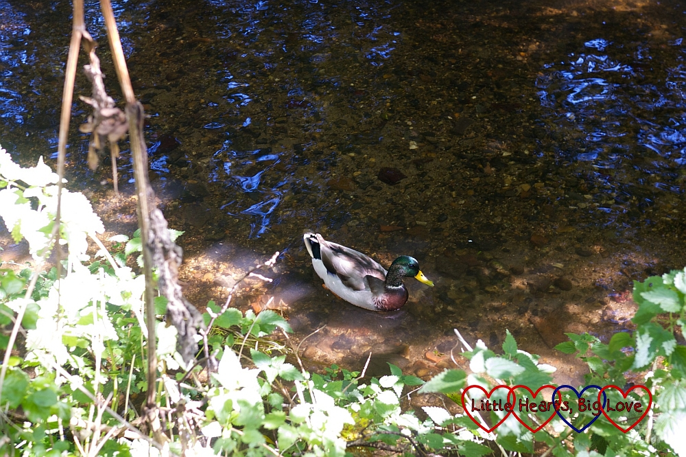 Ducks on the river - A walk along the river - Little Hearts, Big Love