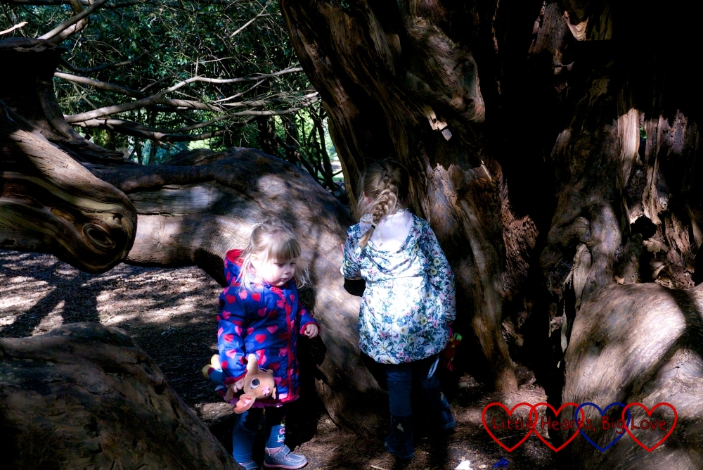 Finding a natural den in the heart of a yew tree