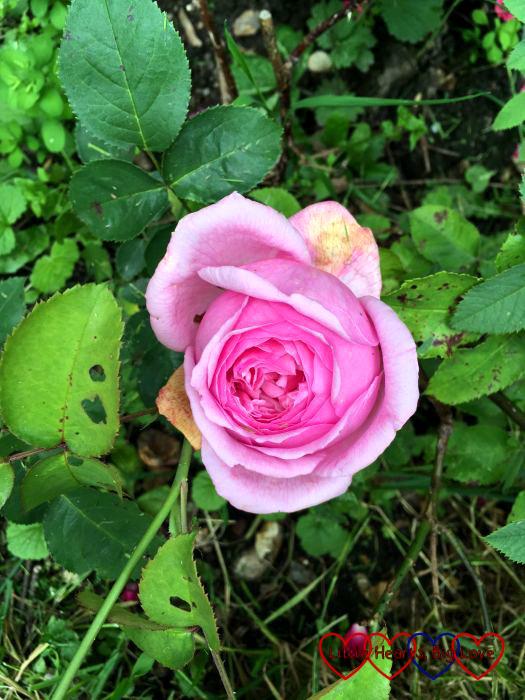 A Pretty Jessica rose in bloom
