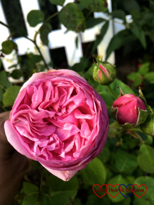 A pink Pretty Jessica rose blooming in the garden with two rose buds behind it