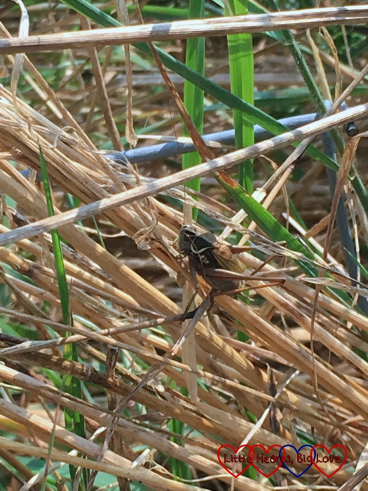 A cricket sitting in the long grass