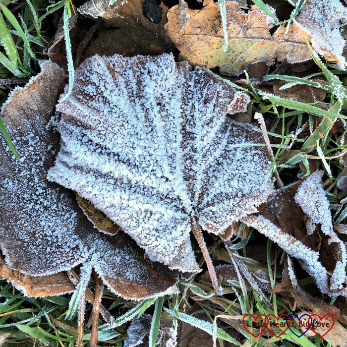 Autumn leaves covered in frost