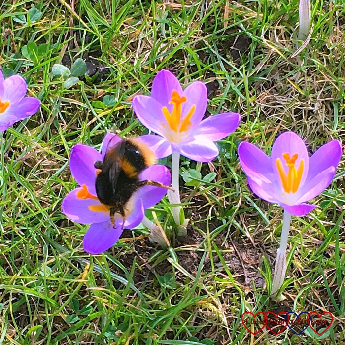 A bee collecting nectar from a purple crocus