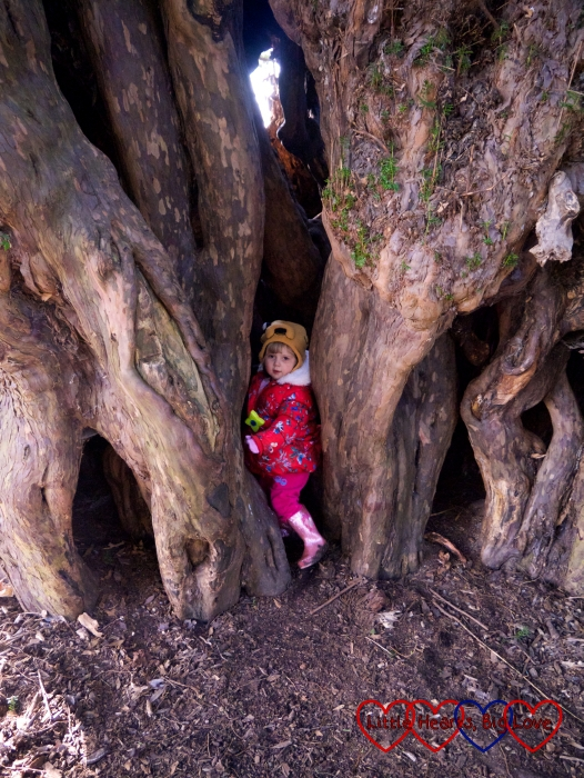 Sophie trying to get inside the yew