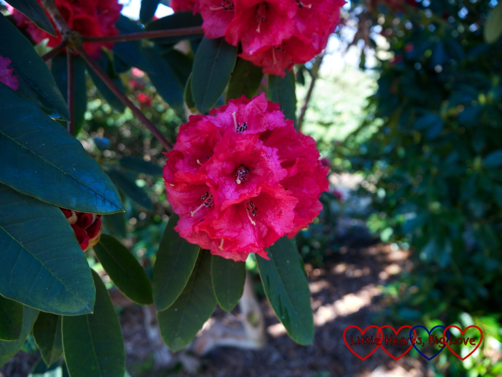 Dark pink rhododendrons at Langley Park