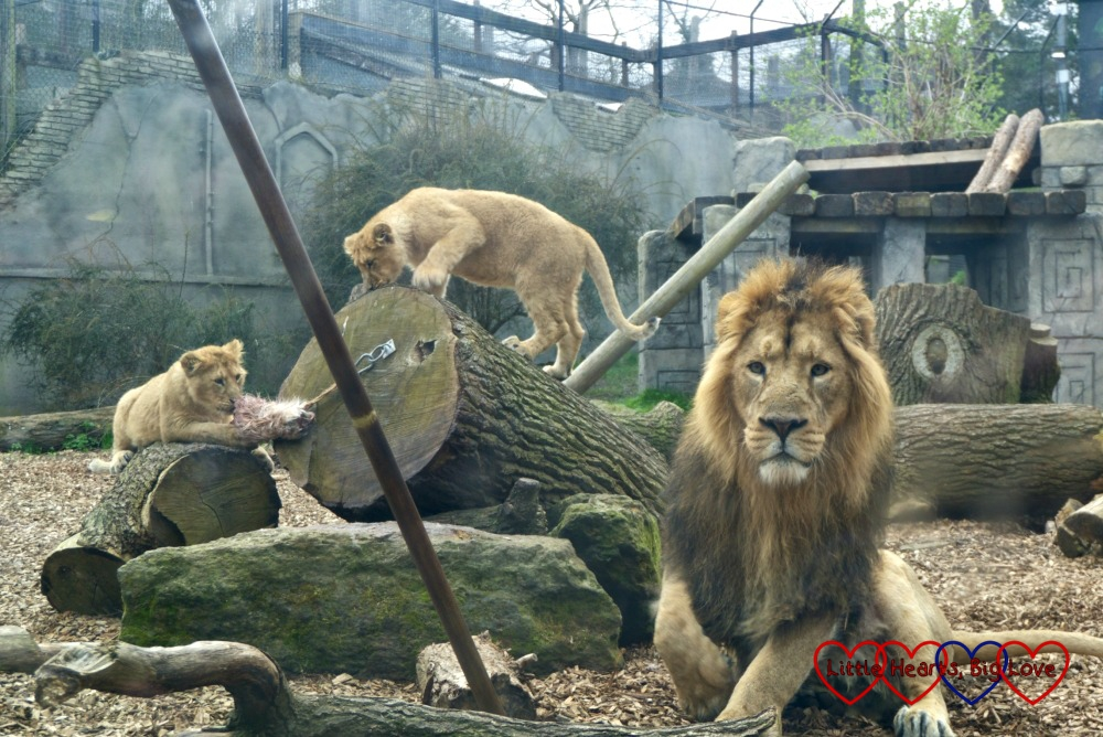An adult male lion and two lion cubs at Chessington