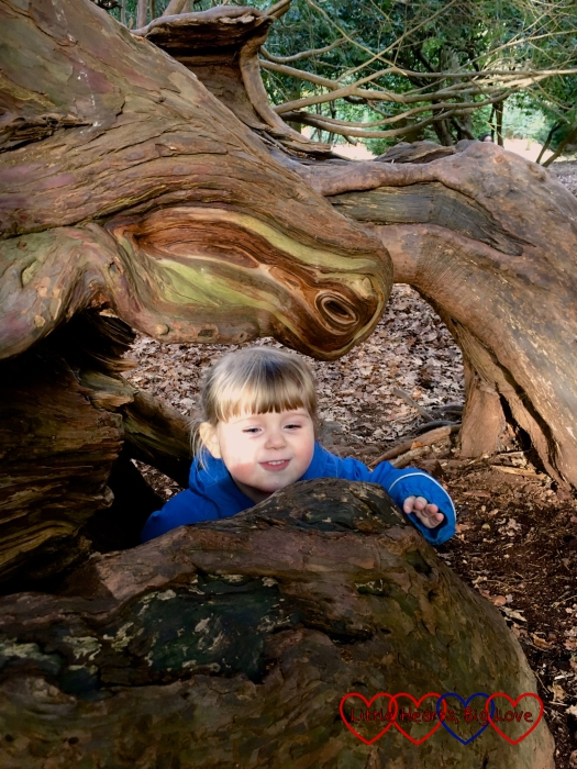 Sophie investigating the yew tree