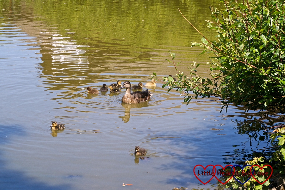 Mummy duck and ducklings on a pond