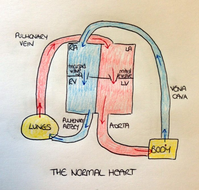 A diagram showing the circulation in a normal heart