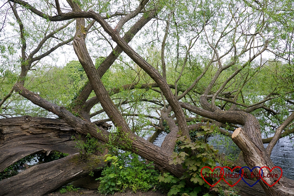 Twisted trees at Rickmansworth Aquadrome - Little Hearts, Big Love