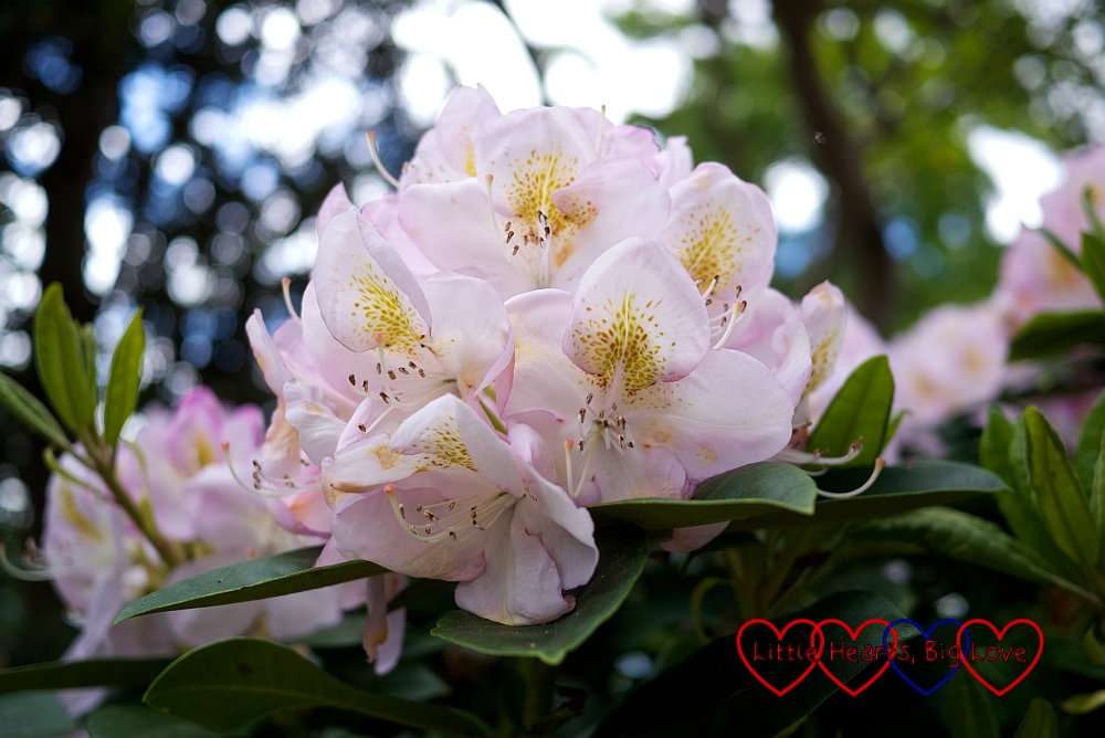 Pretty rhododendrons - Silent Sunday 07/06/15