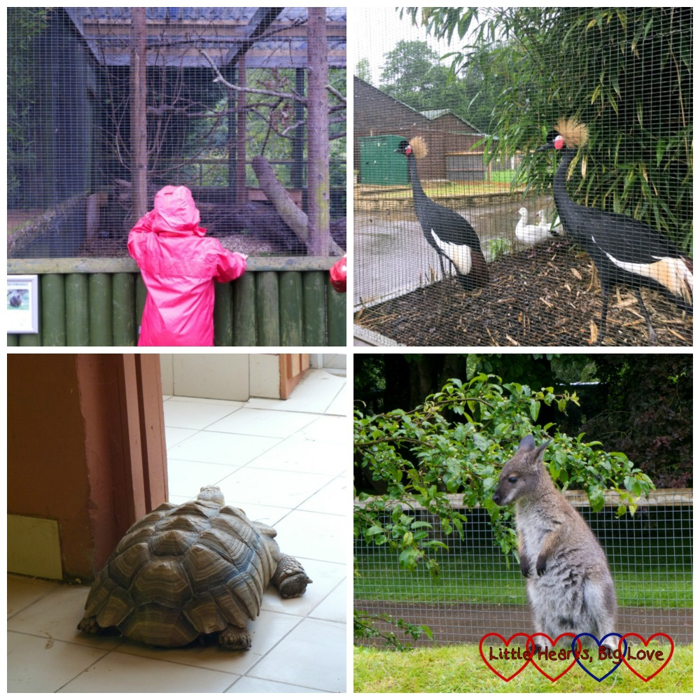Four photos - top left - Jessica looking in at the monkey cage, two birds with golden feathery crests, a Sulcata Tortoise and a wallaby