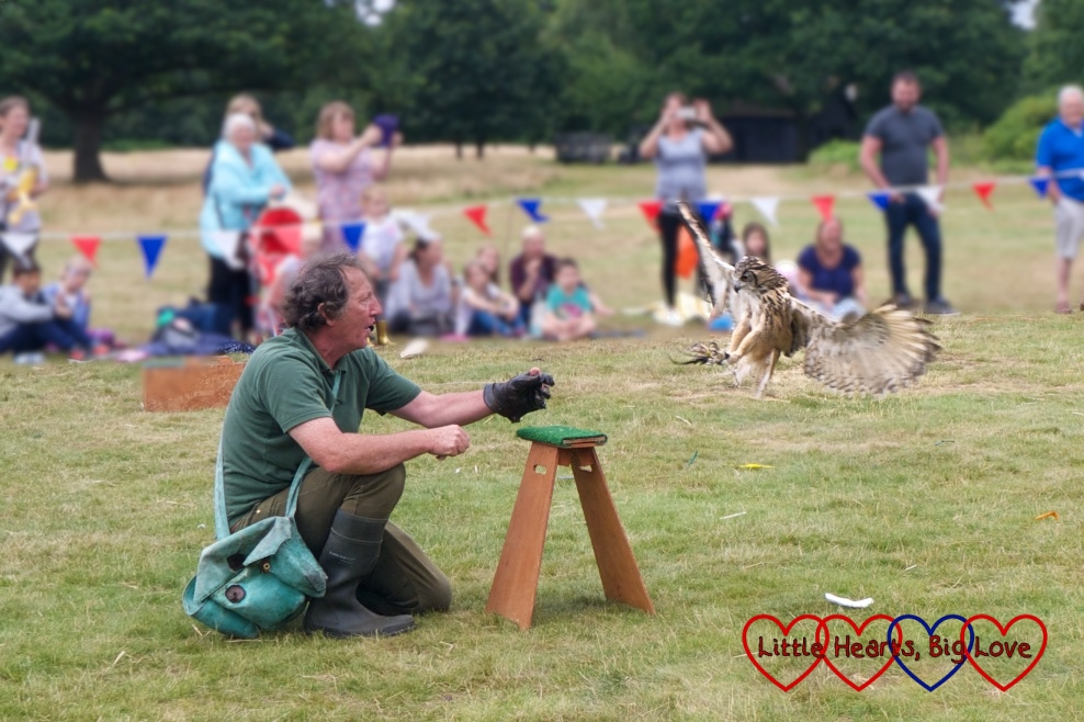 The owl about to land during the falconry display