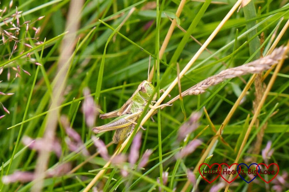 A grasshopper in the long grass