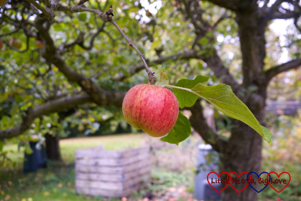 A rosy-red ripe apple on a tree