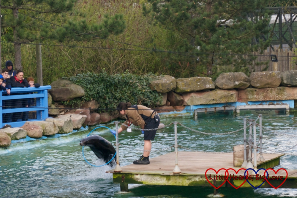 Chloe the sea lion jumping through a hoop at Chessington World of Adventures