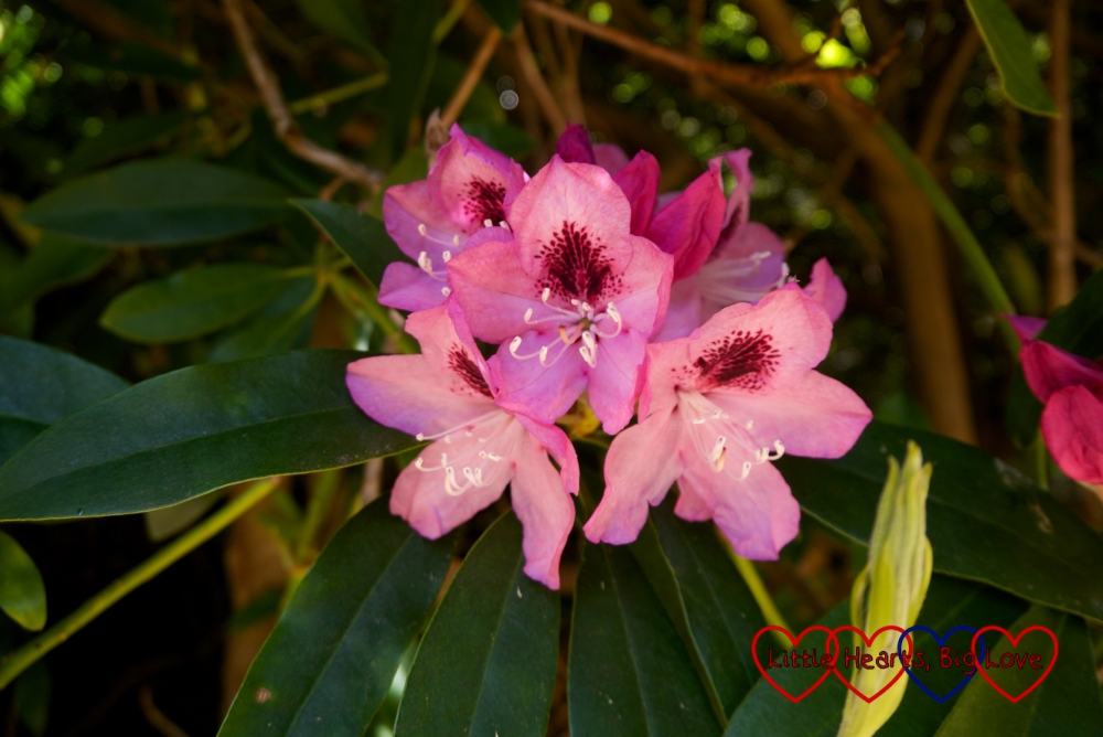 A pink rhododendron in bloom