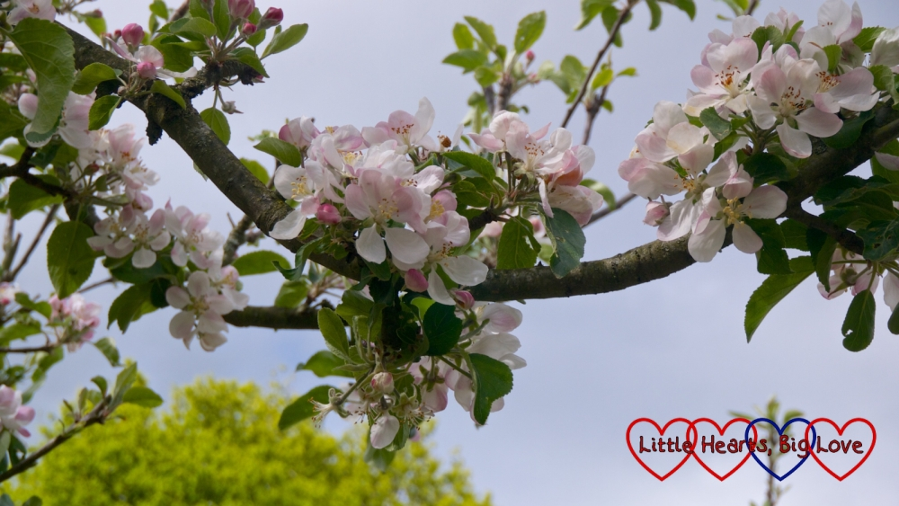Pink blossom on a tree
