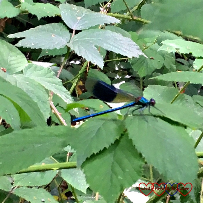 A damselfly in the blackberry bushes