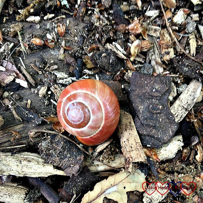 A pretty orangey-brown snail shell