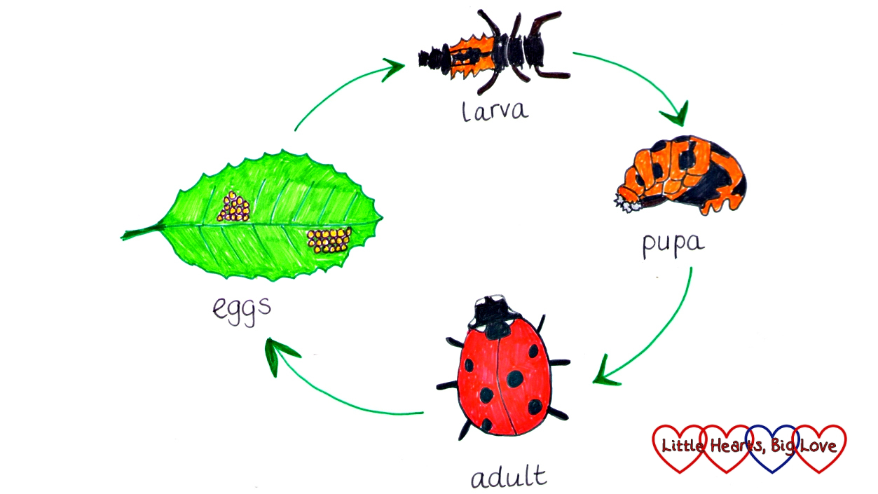 30dayswild the ladybird life cycle little hearts big love a diagram showing the ladybird life cycle from egg to larva to pupa to adult pooptronica Gallery