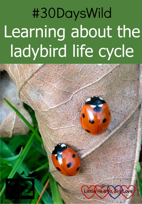 "Two ladybirds on a leaf - ""#30DaysWild - Learning about the ladybird life cycle"""