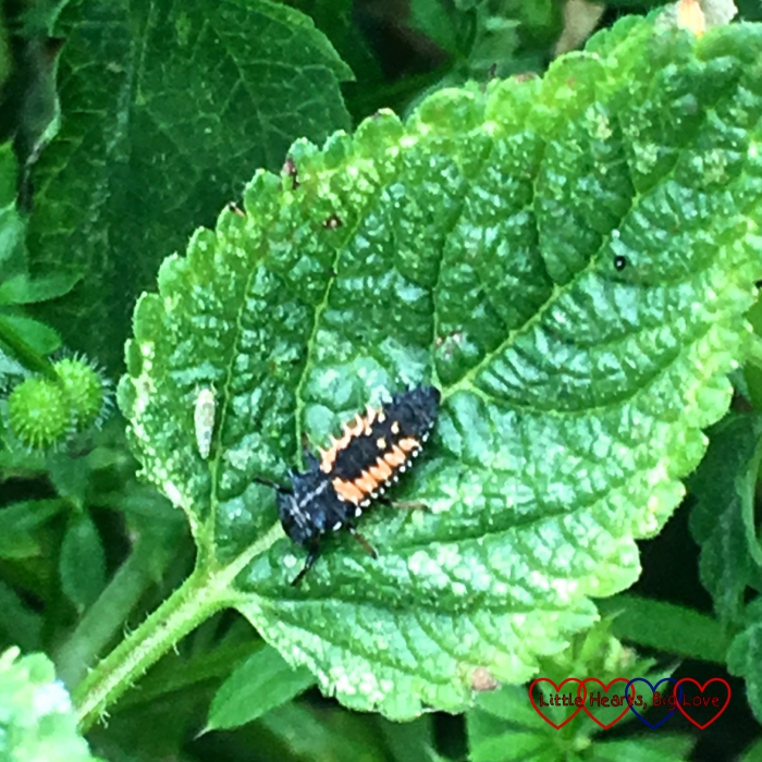 A ladybird larva on a leaf