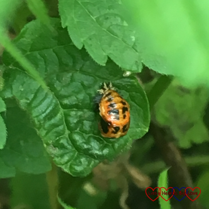 A ladybird pupa in amongst the weeds