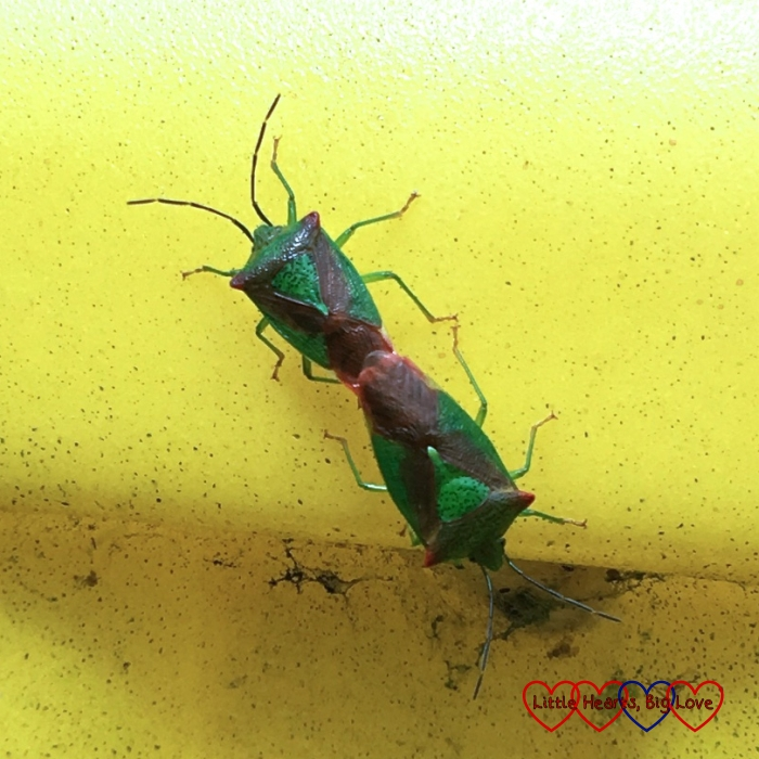 A pair of mating Hawthorn Shield Bugs