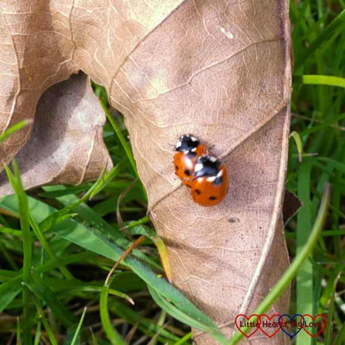 Two mating ladybirds on a leaf