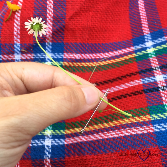 Splitting the daisy stem with a safety pin