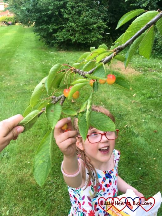 Jessica reaching up to pick cherries from the cherry tree