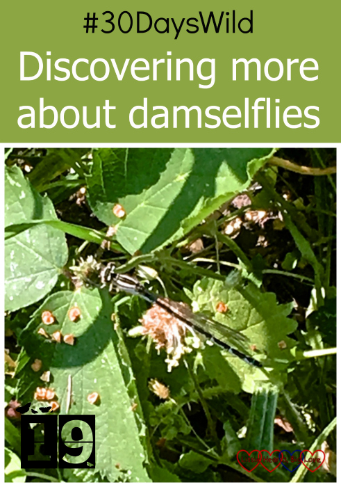 "A damselfly on a leaf in the garden - ""#30DaysWild - Discovering more about damselflies"""