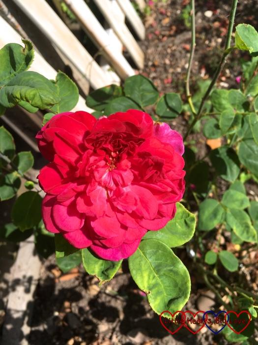 My Sophy's Rose in bloom
