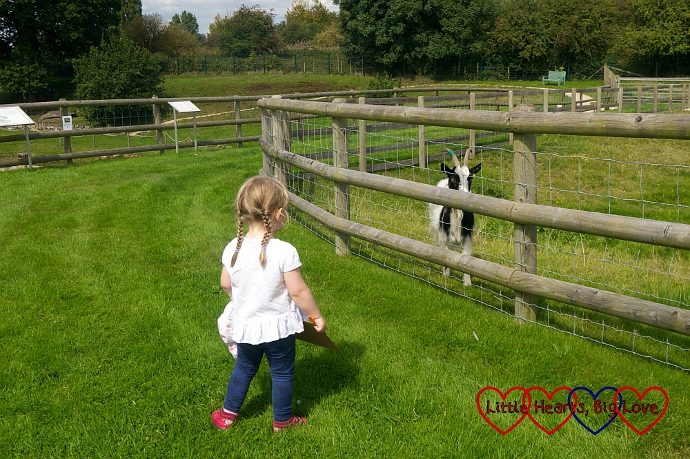 Sophie stopping to say hello to one of the Bagot goats