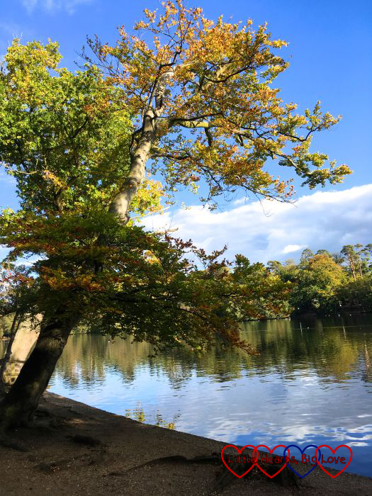 An autumn tree next to the lake at Black Park