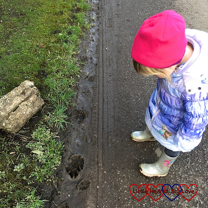 Sophie investigating some dog paw prints in the mud