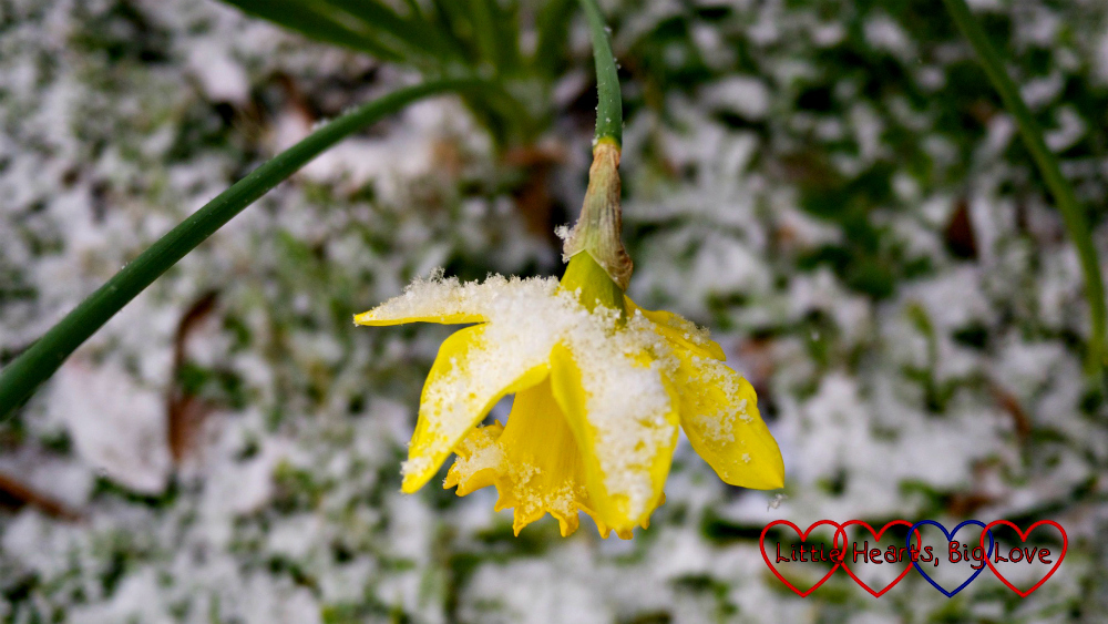 A daffodil covered with snow