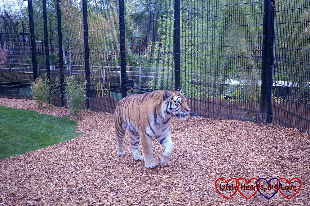 One of the Amur tigers in the enclosure