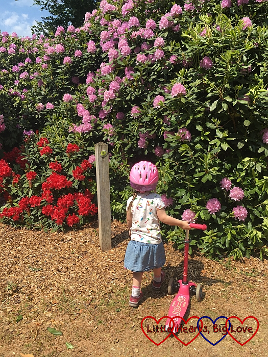 Sophie looking at the rhododendrons at Langley Park
