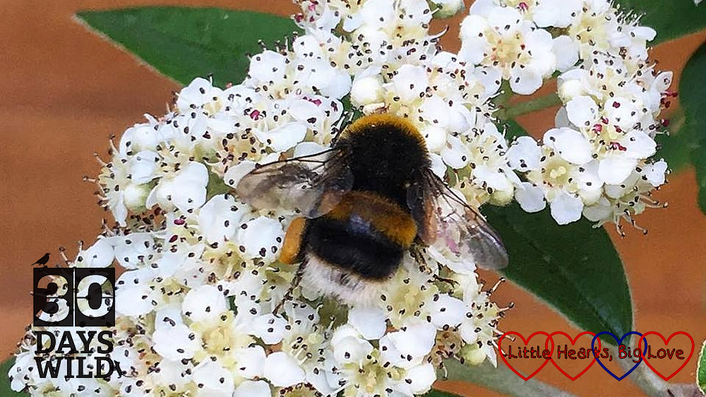 A bumble bee on the pyracantha