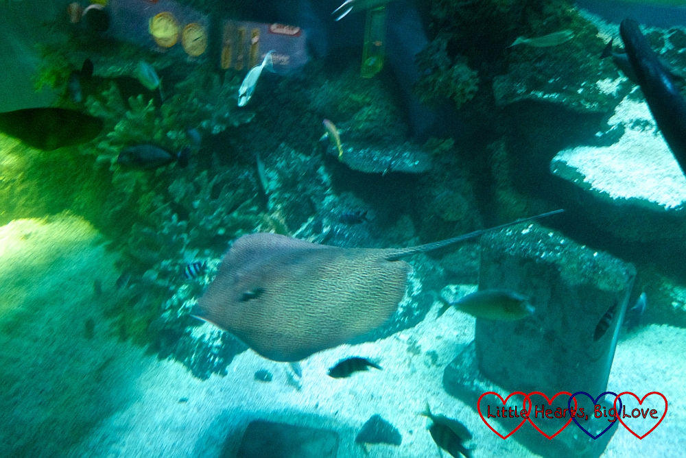 A ray seen from the Atlantis Submarine Voyage ride