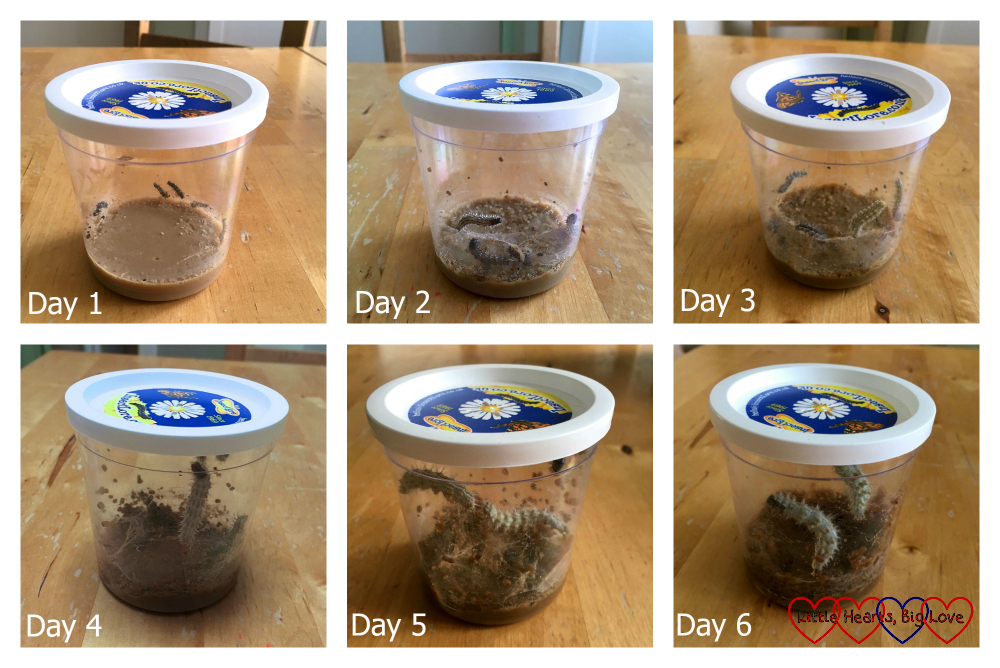Photos of the caterpillars growing in the cup over several days