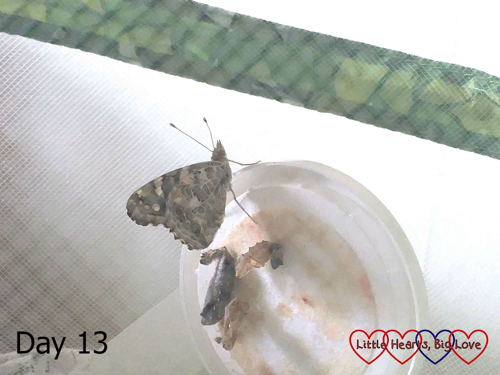 A newly emerged butterfly on day 13