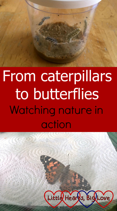 "A cup of caterpillars (top) and a butterfly (bottom) - ""From caterpillars to butterflies - watching nature in action"""