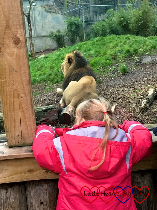 Sophie looking at the male lion