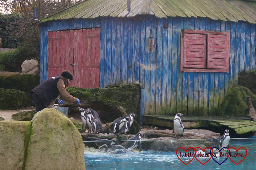 The Humboldt penguins being fed