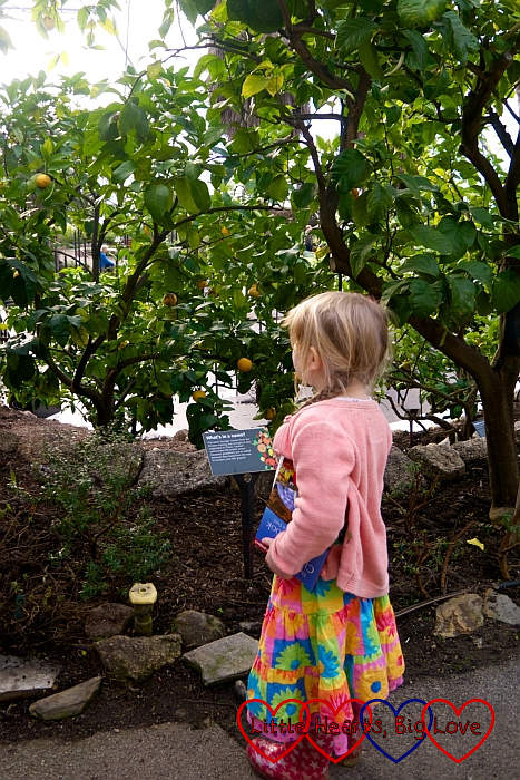 Sophie looking at tangerines growing in the trees