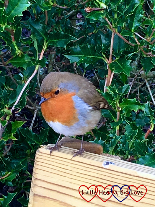 A robin sitting on a bench with holly in the background