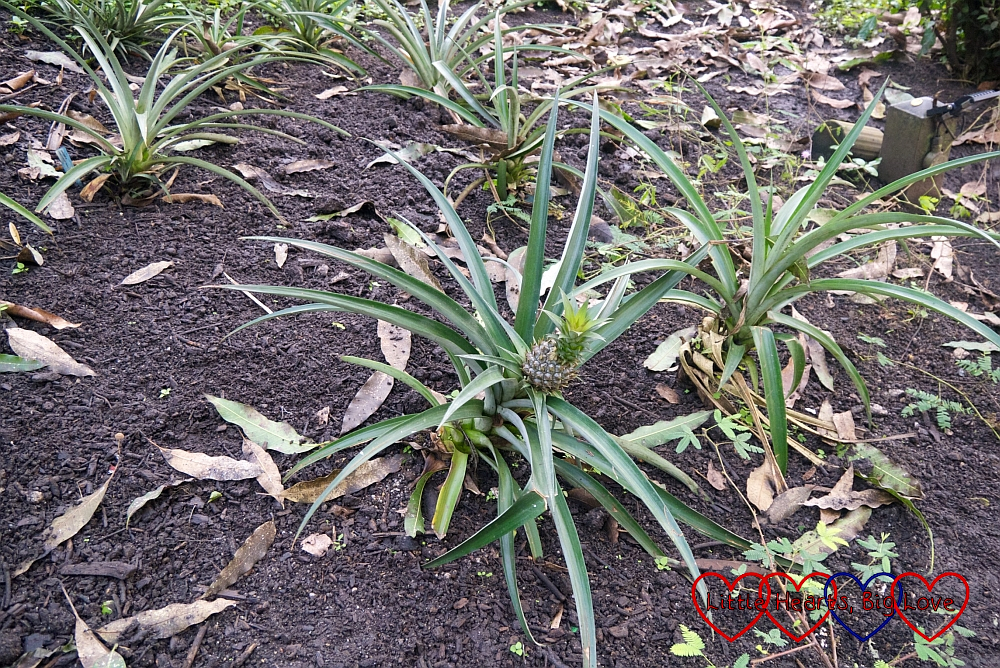 Pineapples growing on bushes
